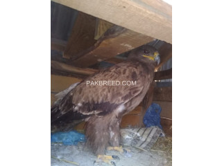Eagle For sale