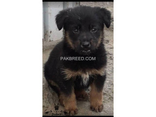 Long Stock coated German shepherd male pup