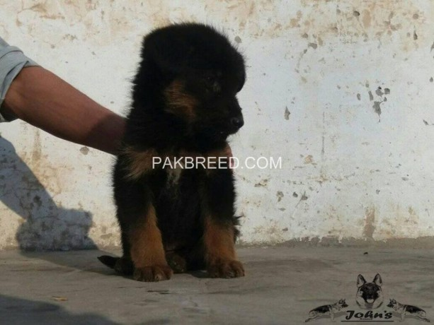 long-stock-coated-german-shepherd-male-pup-big-0