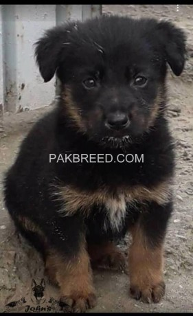 long-stock-coated-german-shepherd-male-pup-big-1