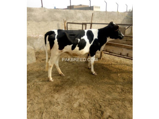 5 month Pregnant Balck n white Heifer First Timer