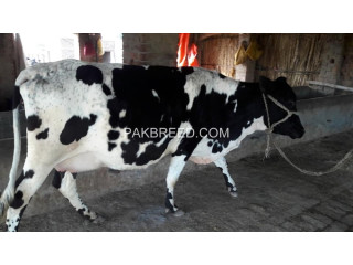Free ads Livestock in Attock City, Pakistan