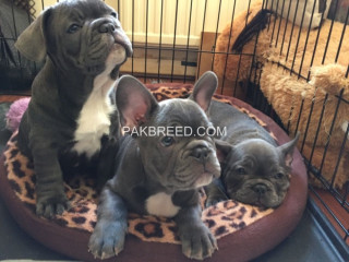 5 Qualitykc French Bulldog Puppies Ready Now!!!