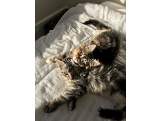 Beautiful Fluffy Chunky Full Maine Coon Kittens.