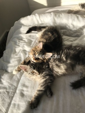 beautiful-fluffy-chunky-full-maine-coon-kittens-big-0