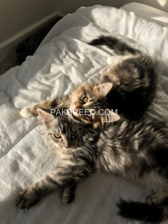 beautiful-fluffy-chunky-full-maine-coon-kittens-big-1