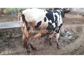 Cow for sale in sargodah