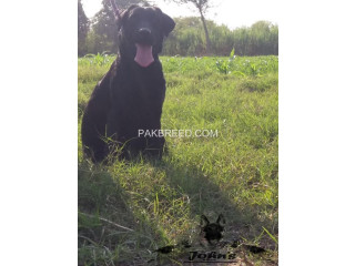 A grade show quality American Labrador Retriever Female