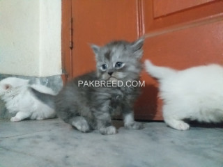 Persian Cats & kittens