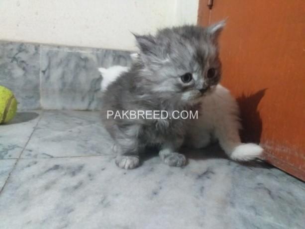 persian-cats-kittens-big-1
