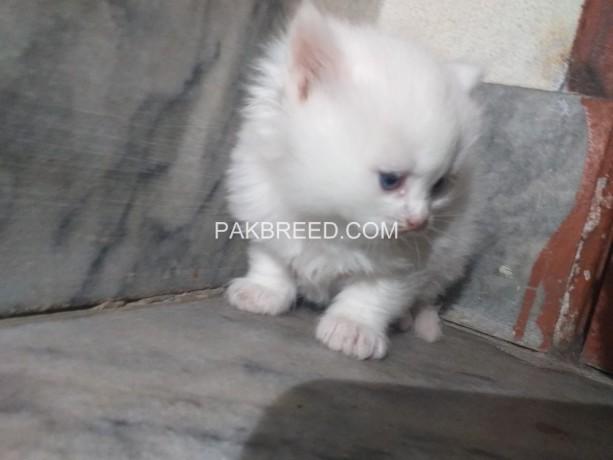 persian-cats-kittens-big-2