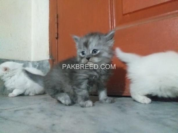 persian-cats-kittens-big-6