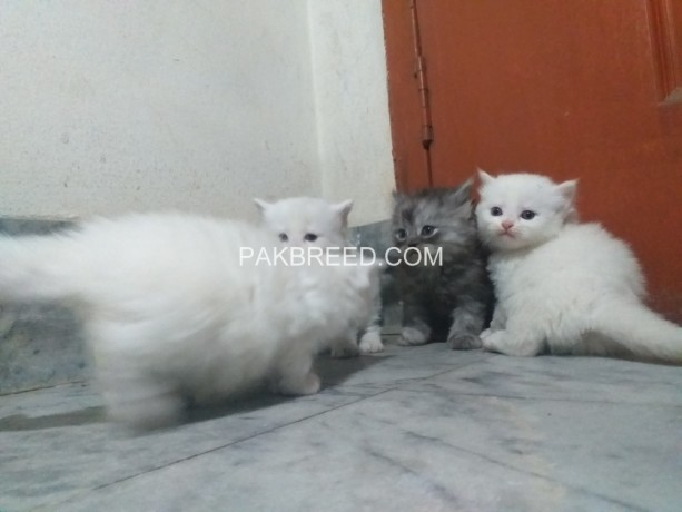 persian-cats-kittens-big-0