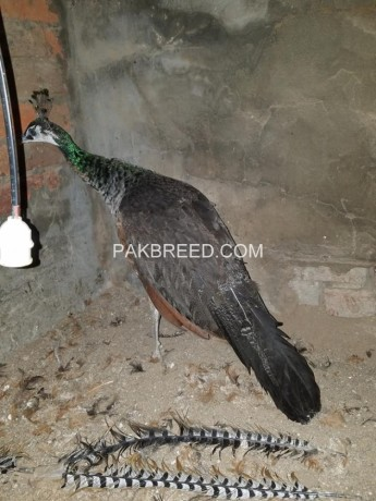 blue-peacock-female-for-sale-big-0
