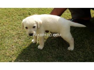 Pedigree microchips Labrador pup