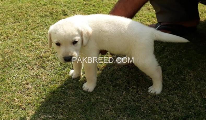 pedigree-microchips-labrador-pup-big-0