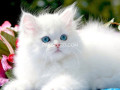 persian-kittens-small-4