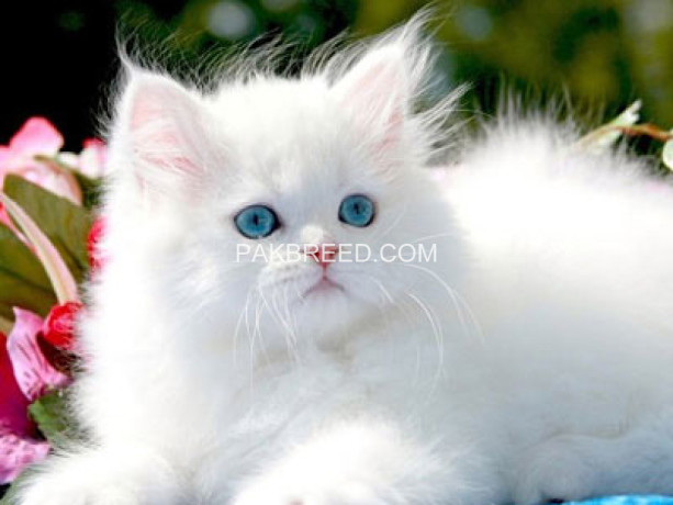persian-kittens-big-4