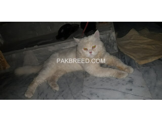 Persian white Male cat