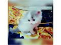 persian-cat-small-1