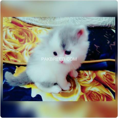 persian-cat-big-1