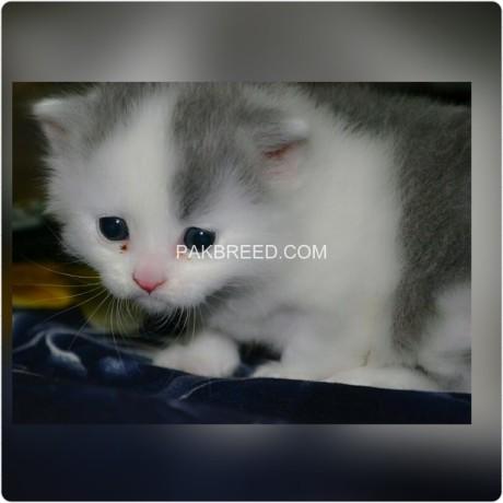 persian-cat-big-2