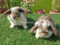 holland-lop-bunnies-available-small-1