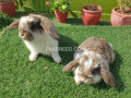 holland-lop-bunnies-available-small-0