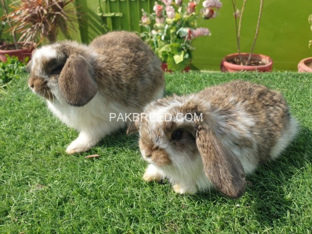 holland-lop-bunnies-available-big-2