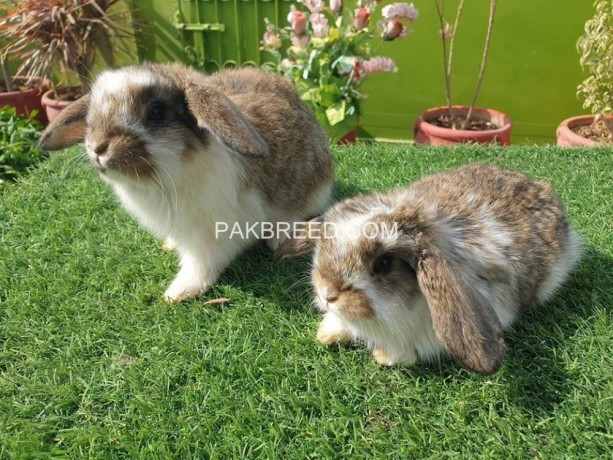 holland-lop-bunnies-available-big-3