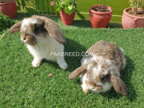 holland-lop-bunnies-available-big-0