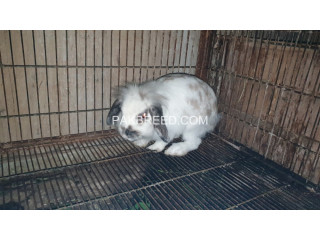Rabit for sale