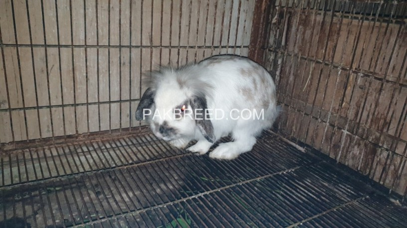 rabit-for-sale-big-0