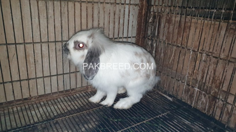 rabit-for-sale-big-2