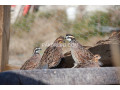 important-quail-adult-pair-small-2