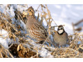 important-quail-adult-pair-small-1