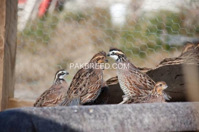 important-quail-adult-pair-big-2