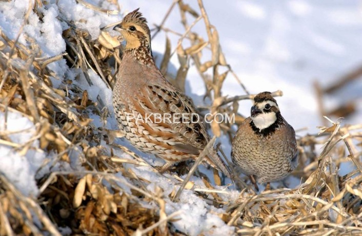 important-quail-adult-pair-big-1