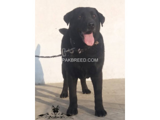 Fully trained British Labrador retriever male