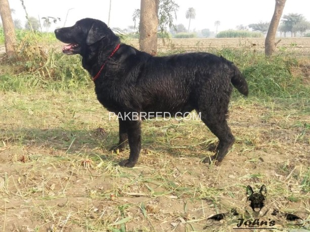 fully-trained-british-labrador-retriever-male-big-2