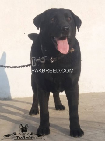 fully-trained-british-labrador-retriever-male-big-0