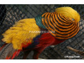 redgolden-pheasant-small-0