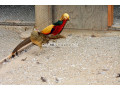redgolden-pheasant-small-2