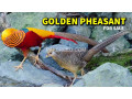 redgolden-pheasant-small-1