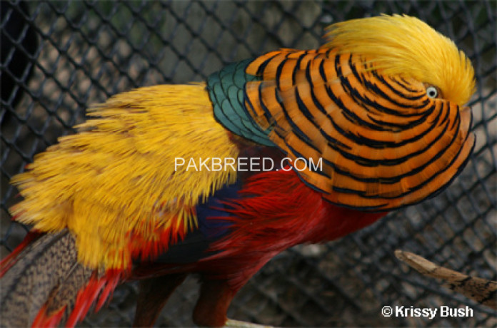 redgolden-pheasant-big-0