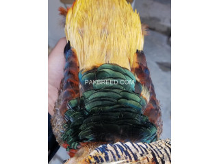 Red golden breeder pheasant males pair for sale