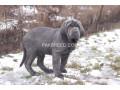 heaviest-mastiff-pups-small-0