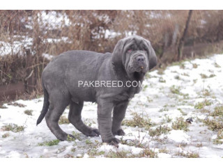Heaviest mastiff pups