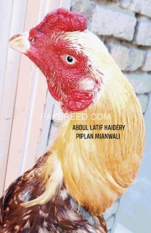 peela-aseel-for-sale-big-1
