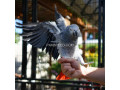 african-grey-parrot-ready-for-adoption-small-3
